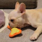 こいぬすてっぷのおもちゃで遊ぶフレンチブルドッグ